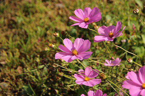 Cosmos, Flower, Bloom, Blossom, Pink Flower, Petals