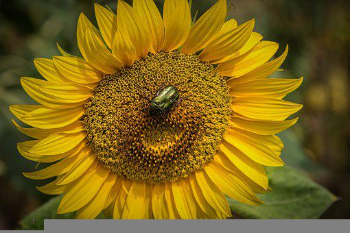 Sunflower, Yellow, Beetle, Pollen, Pollinate