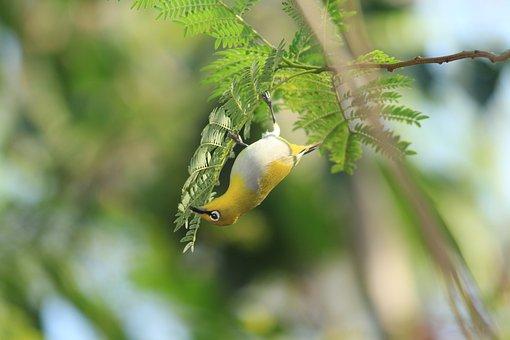 Bird, Animal, Nature, Warbling White Eye, Small Bird
