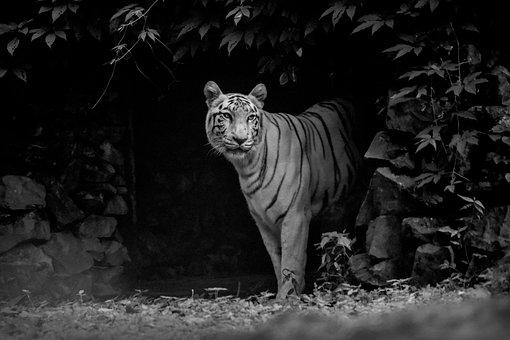 Tiger, Cat, Wildlife, Wilderness, Wild Animal, Big Cat