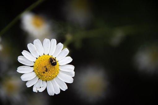 Daisy, Flower, Larva, White Flower, White Petals