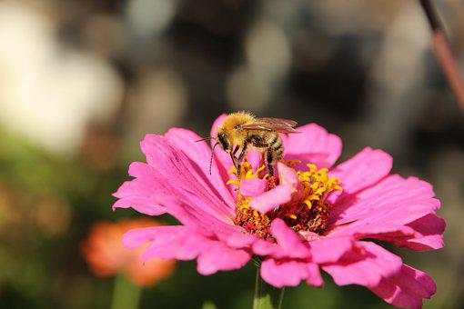 Bee, Zinnia, Pollen, Flower, Pollination, Pollinate