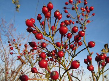 Rosa Multiflora, Rosa Polyantha, Multiflora, Baby Rose