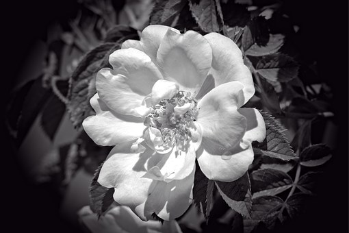 Rose Bloom, Black, White, Black And White, Flower