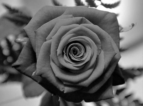Rose In Black And White, Rose, Blossom, Bloom, Flower
