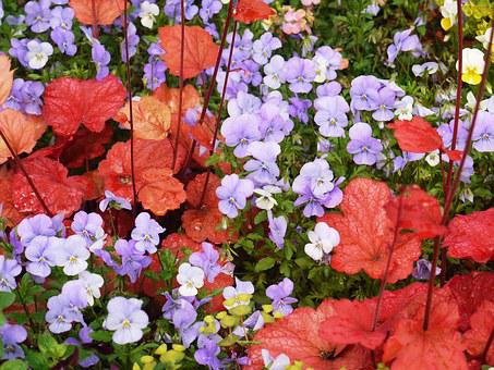 Pansy, Coral Bells, Decorative Leaves, Red, Colorful