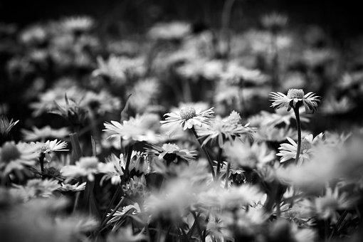 Daisies, Dandelion, White, In The Grass, Flora, Flower