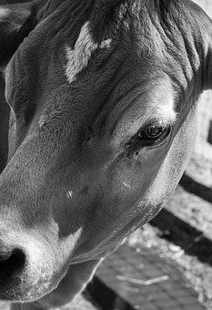 Cow, Black And White, Farm, Farming, Animal, Dairy
