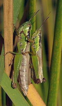 Grasshopper, Pairing, Migratory Locust, Acrididae