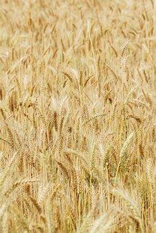 Wheat, In Rice Field, Mai Tian, Straw, Plant