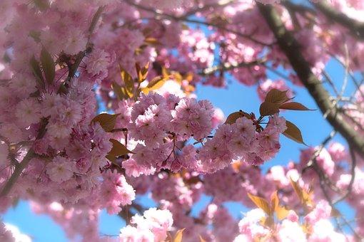Japanese Flowering Cherry, Prunus Serrulata