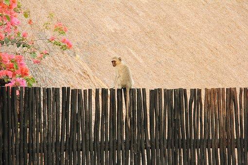 Monkey, Cute, Scenic, Beautiful, Interesting, Lodge