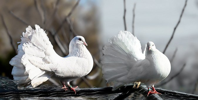 Pigeons, Pair, White, Affection, Whisper Sweet Nothings