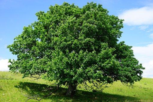Tree, Single Standing, Rand Ecker Maar, Real Whitebeam