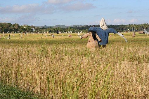 Scarecrow, Straw Man, Boggle, Bogle, Rice Field, Field
