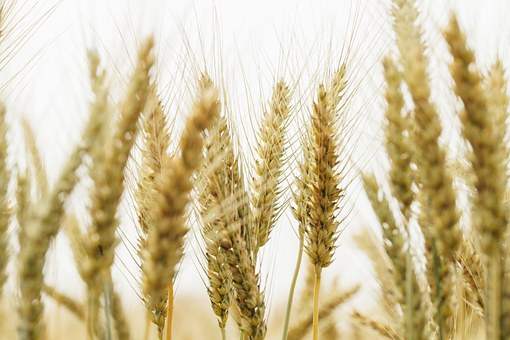 Plant, Wheat, Straw, In Rice Field