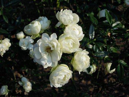 Rose, Rosa Multiflora, White, Taipei