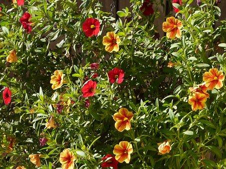 Petunia, Gardening, Flower, Red, Yellow, Garden
