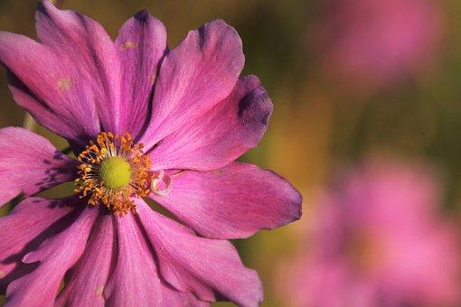 Cosmea, Autumn Flower, Garden Cosmos, Pink Flower