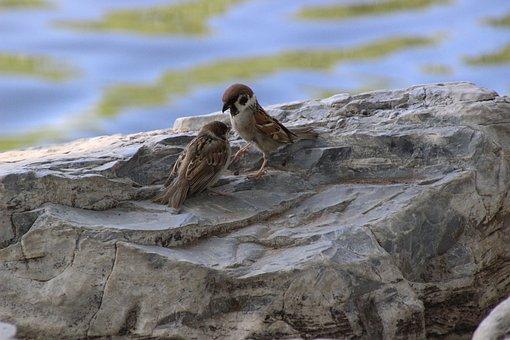 Sparrows, Birds, Animals, Avian, Wildlife, Rock, Stone
