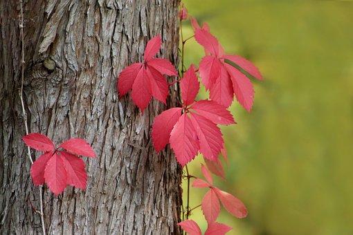 Wine Partner, Grapevine, Bark, Log, Red Leaves