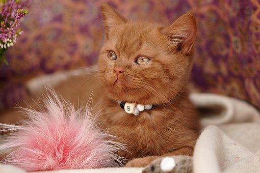 British Shorthair, Kitten, Cat, Kitty, Profile