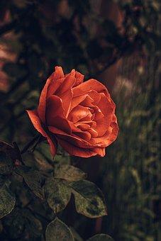 Rose, Petals, Bloom, Blossom, Flower, Flora