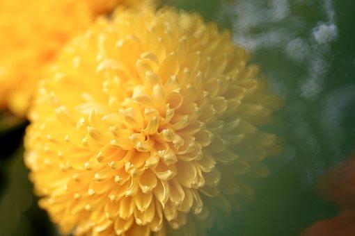 Dahlia, Flower, Petals, Yellow Flower
