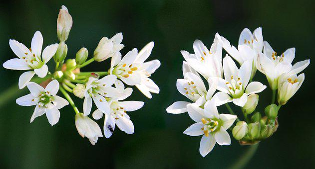 Flowers, White, Florets, Small Flowers, White Flowers