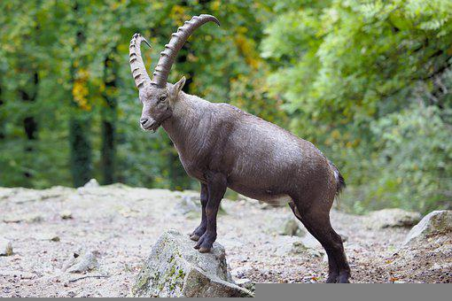 Animal, Alpine Ibex, Forest, Ibex, Wild Goat