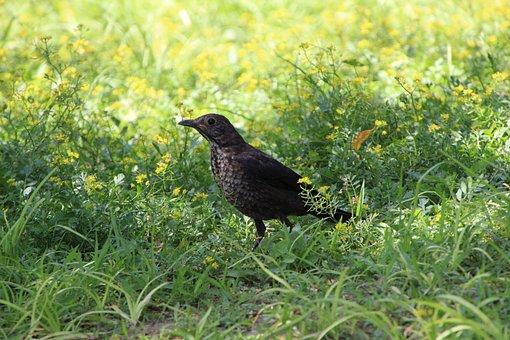 Bird, Black Thrush, Animal, Wildlife, Grass, Grassland