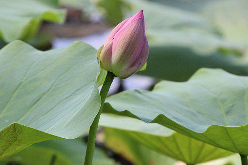 Water Lily, Lotus Flower, Leaves, Lily Pads