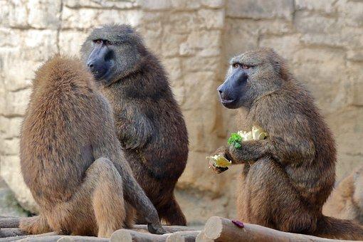 Mokeys, Primates, Apes, Mammals, Food, Snack, Animals