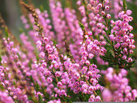 Heather, Heath, Moorland, Heide, Nature, Plant, Bloom