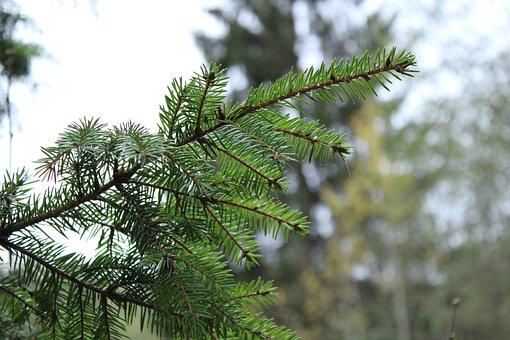 Fir, Tree, Branches, Needles, Fir Tree, Pine Tree