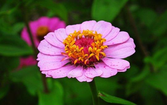 Flower, Zinnia, Pink, Pink Flower, Pink Petals, Bloom