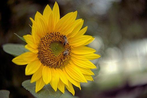 Sunflower, Bees, Pollen, Yellow Flower, Yellow Petals