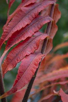 Autumn, Leaves, Red Leaves, Red, Autumn Leaves