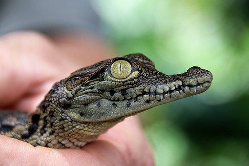 Crocodile, Young, Reptile, Nature