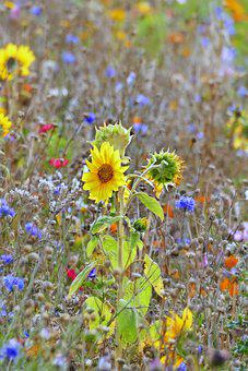 Flowers, Meadow, Petals, Buds, Wild Flowers, Sunflower