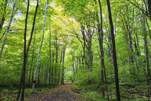 Trees, Forest, Woods, Undergrowth, Trail, Nature Trail
