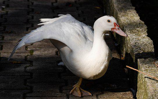 Duck, Bird, Animal, White Duck, Waterfowl, Water Bird