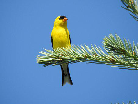American Goldfinch, Bird, Goldfinch, Songbird, Perched