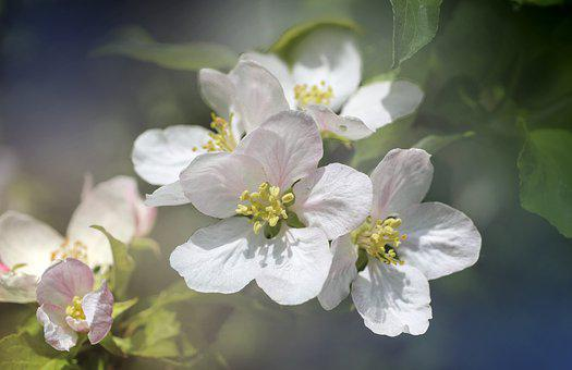 Apple Blossoms, Flowers, Tree