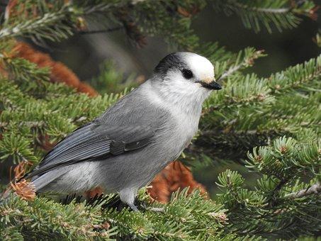 Canada Jay, Bird, Gray Jay, Whiskey Jack, Avian