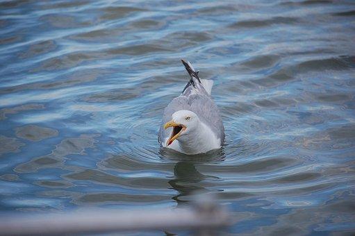 Seagull, Gull, Bird, Wading, Swim, Swimming, Beak