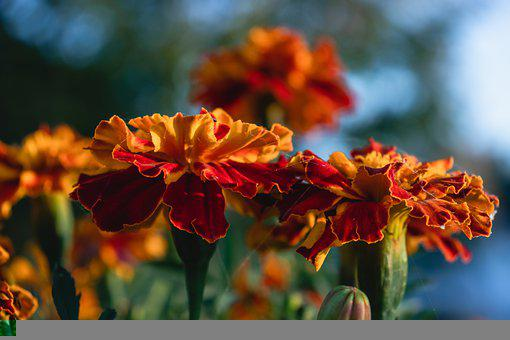 Marigold, Flowers, Bloom, Bicolored Flowers, Petals