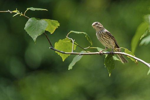 Bird, Sparrow, Branch, Perched, Beak