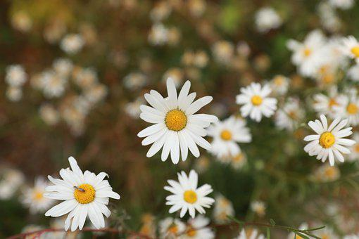 Flowers, Daisies, White Flowers, Bloom, Blossom, Flora