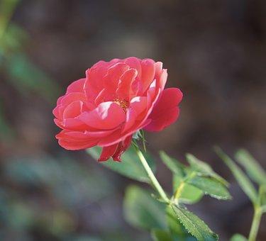 Flower, Petals, Bloom, Red Flower